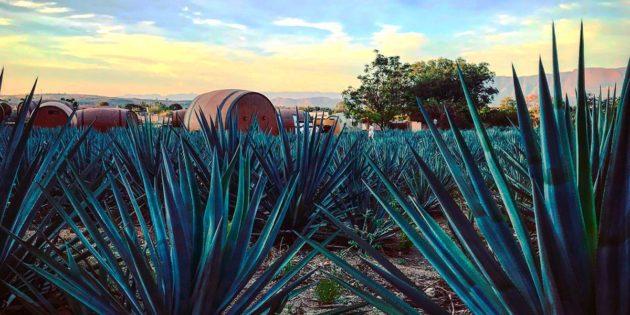 Busca Jalisco romper Récord Guinness en cata de tequila