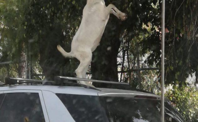 Fotopostal: Se le van las cabras